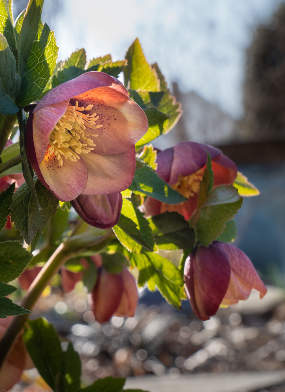 warm coppery hellebore