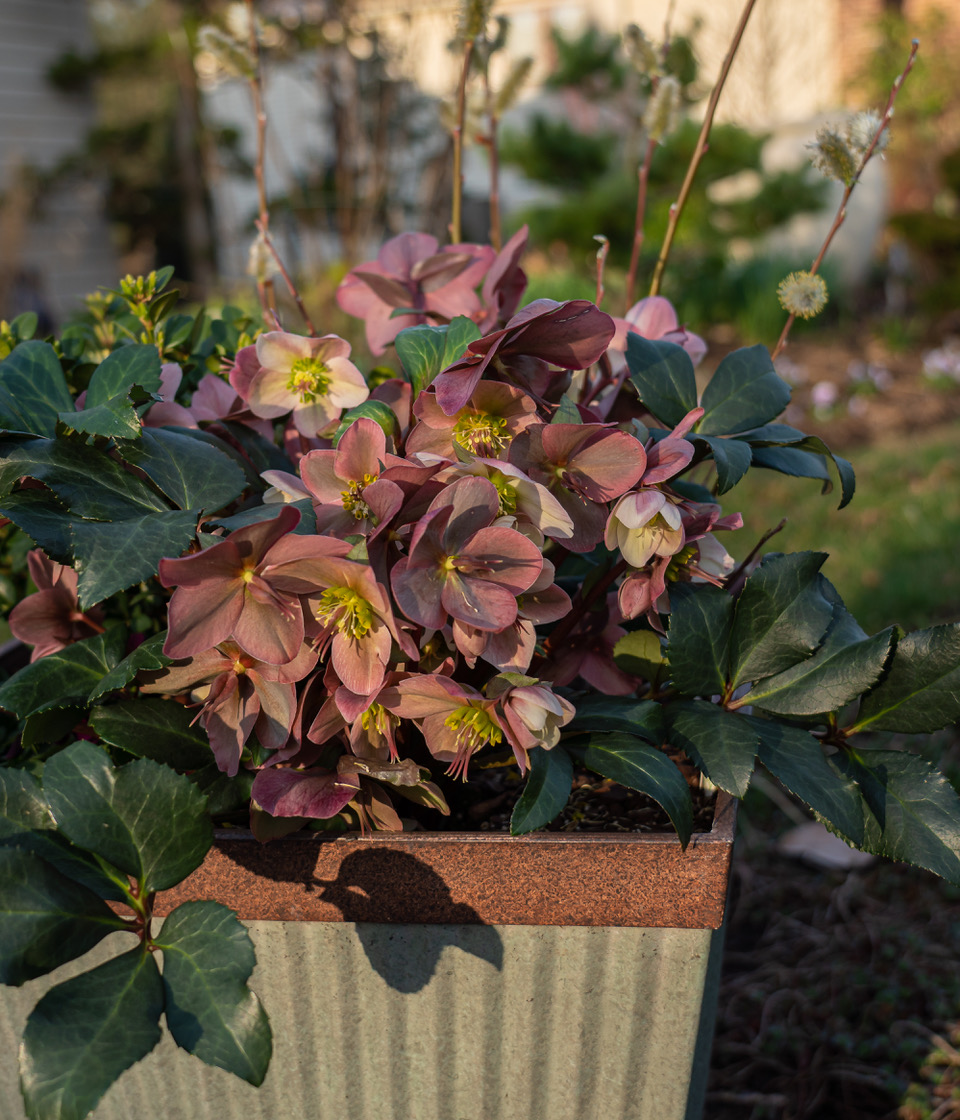 hellebores planted in a container